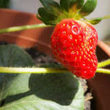 Strawberry. Ripe strawberry in a pot Royalty Free Stock Photography