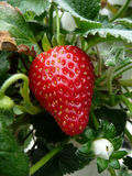 Strawberry. Ripe strawberry ready for picking Royalty Free Stock Photography