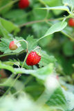 Strawberry. Ripe wild strawberries. Shallow depth of field Stock Images