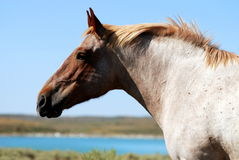 Strawberry Roan Draft Horse Stock Photo