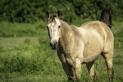 Strawberry Roan Horse Standing. Horse looking at camera standing still on a sunny day Royalty Free Stock Images