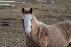 Horse in its winter coat looking a the camera Stock Photography