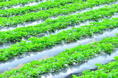 Strawberry rows Stock Photography