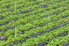 Strawberry rows in the sunshine. Strawberry rows near the Langbiang mountain, ready for harvesting, Da Lat, Lam province, Vietnam. Lam Province is the largest royalty free stock images