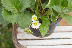 Strawberry`s blossoming white potted plant. Strawberry`s blossoming white potted plant planted in a pot Royalty Free Stock Images