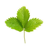 Strawberry's green leaf Stock Image