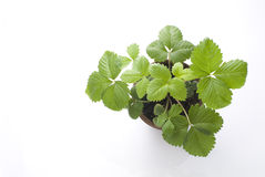 Strawberry's leaves in the flowerpot Royalty Free Stock Images
