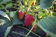 Strawberry scrub Royalty Free Stock Images