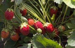 Strawberry scrub Stock Images