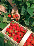 Strawberry season Stock Photos