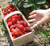 Strawberry season Royalty Free Stock Photos
