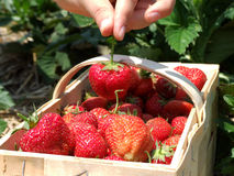 Strawberry season Stock Images