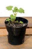 Strawberry seedling Royalty Free Stock Image