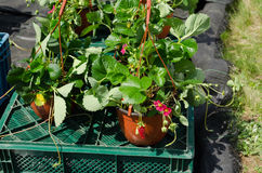 Strawberry seedling plants with bloom in pots sold Stock Photos