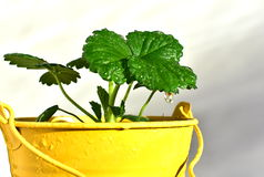 Strawberry seedling in pot Stock Images