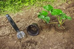 Strawberry  Seedlings With Gardening Tools on Soi stock image