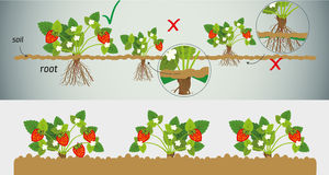 Strawberry seedlings Royalty Free Stock Photography