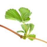 Strawberry shoots leaf Royalty Free Stock Image