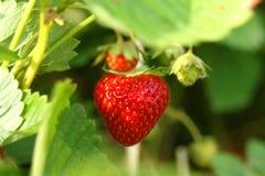 Strawberry on shrub Stock Images