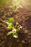 Strawberry shrub in the garden Royalty Free Stock Image