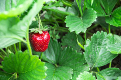 Strawberry. Single red ripe strawberry with green background Stock Photo