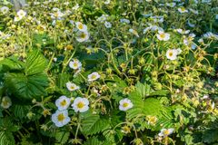Strawberry small white flowers blossom in the garden. During spring time Stock Image