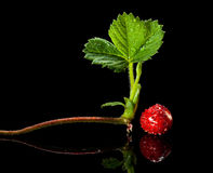 Strawberry sprout and ripe berry Royalty Free Stock Photo
