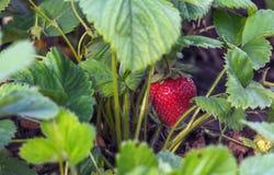 Strawberry stem Stock Image