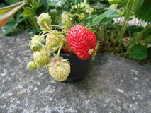 Strawberry, Strawberries, Fruit, West Indian Raspberry royalty free stock images