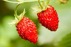 Strawberry. Strawberries. Growing Organic Berries Stock Photography