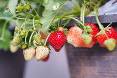 Strawberry. Strawberries plant in pots in garden Stock Photo