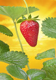 Strawberry Strawberries Sun Sky Royalty Free Stock Photo