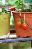 Strawberry in the Strawberry Farm Royalty Free Stock Photo