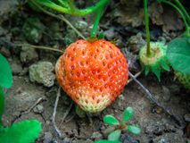 Strawberry summer fruit. Summer landscape free melcuphoto photography commercial license Royalty Free Stock Photos