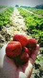 Strawberry Summer. Sweet fruit in field hand picked family outing farm land Royalty Free Stock Photos