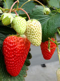 Strawberry sweet taste of strawberry plants Stock Image