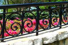 Strawberry Swirls. At the Dallas Arboretum, a scrolled wrought iron fence frames some vibrant pink flowers stock photos