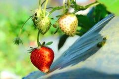 Strawberry taste sweet. Royalty Free Stock Photo