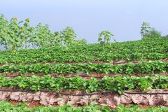 Strawberry terrace plantation farm and mountains with blue sky background royalty free stock photography