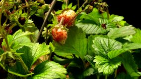 Strawberry Time-lapse