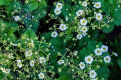 Strawberry tiny white flowers blossom in the garden. During spring time Royalty Free Stock Images