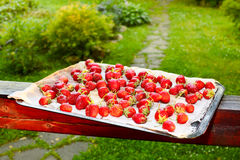 Strawberry tray in sunset light Stock Photography
