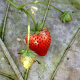 Strawberry tree Royalty Free Stock Images