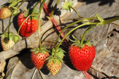 Strawberry tree Royalty Free Stock Photography