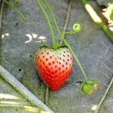 A strawberry tree Stock Images