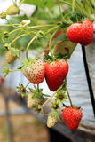 A strawberry tree Stock Image