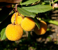 Strawberry Tree Royalty Free Stock Photos
