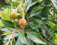 Strawberry Tree. Arbutus unedo 'Marina'rn stock photography