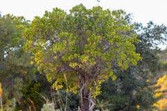 Strawberry Tree (Arbutus Unedo). Close up view of an Strawberry Tree (Arbutus Unedo) tree Stock Photos