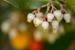 Strawberry Tree (Arbutus Unedo). Close up view of an Strawberry Tree (Arbutus Unedo) blossom flowers Royalty Free Stock Images